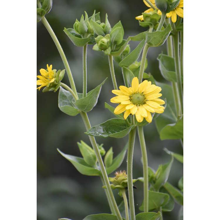 Silphium gracile - slender rosinweed