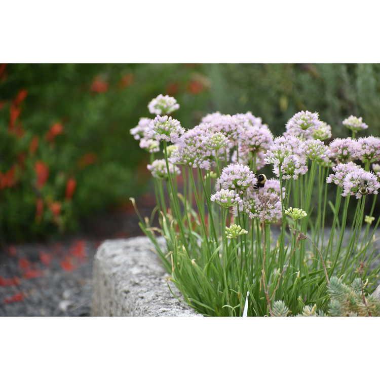 Allium 'Sugar Melt' - ornamental onion