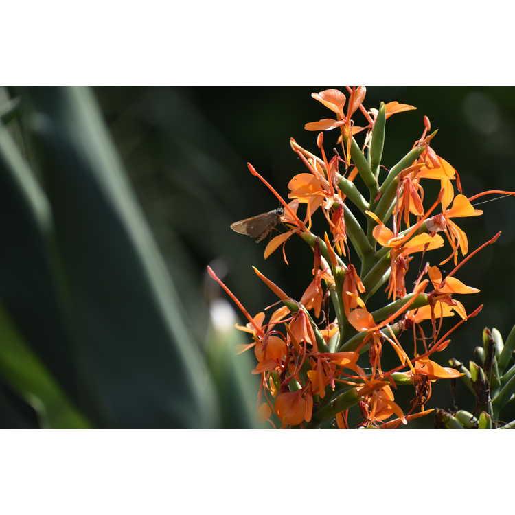 Hedychium gardnerianum Tara