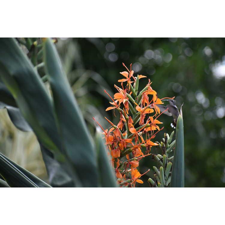 Hedychium gardnerianum 'Tara' - kahili ginger