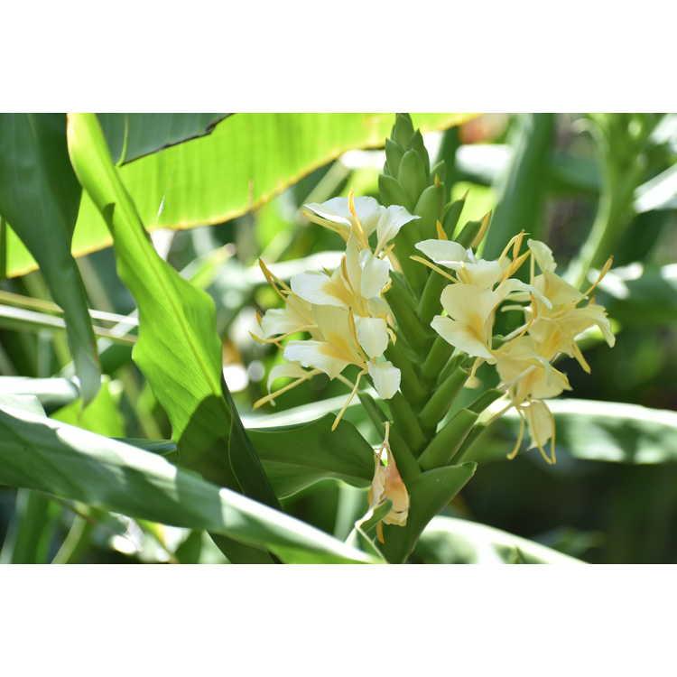 Hedychium 'Moy Giant'