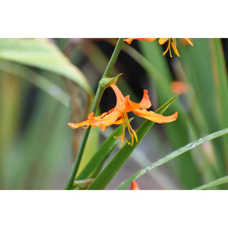 Crocosmia ×crocosmiiflora 'Tobias'