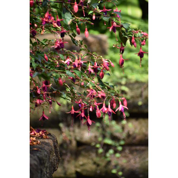 Fuchsia 'Sanihanf' - Angel Earrings Cascading hardy cascading fuchsia