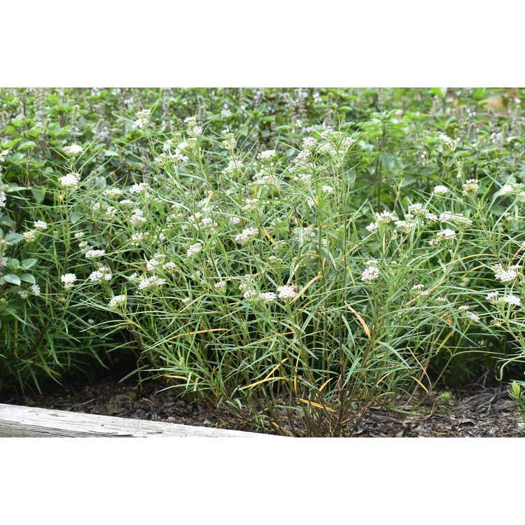 Asclepias angustifolia