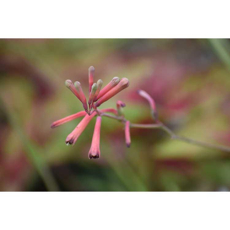 Polianthes ×bundrantii - Mexican firecracker