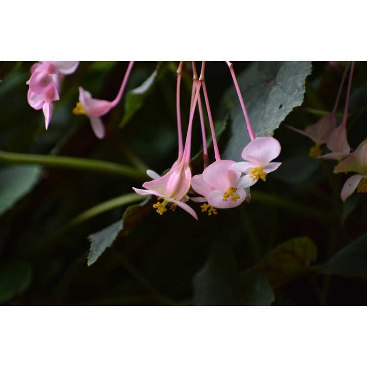 Begonia grandis 'Pink Teardrops' - hardy begonia