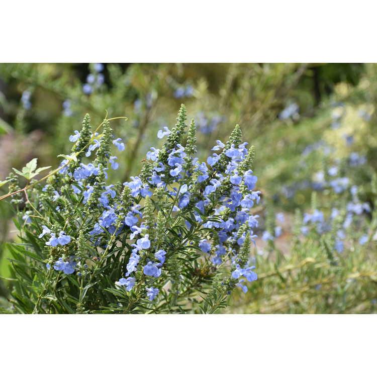Salvia azurea Little Boy Blue