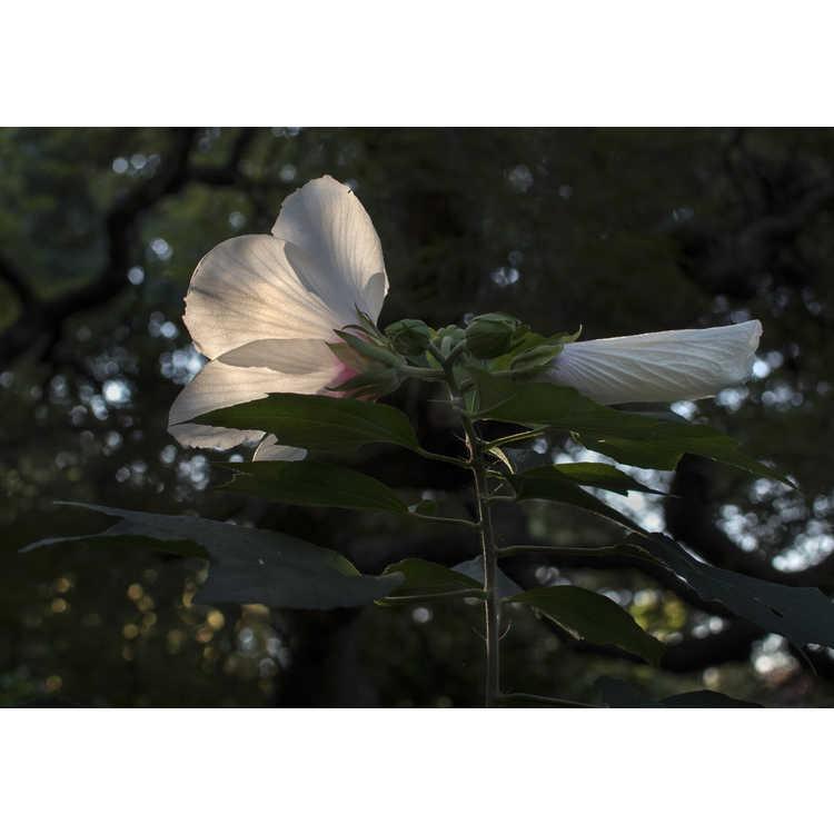 Hibiscus Lohengrin