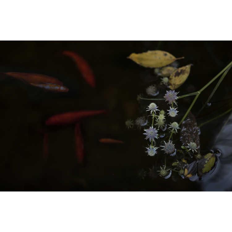 Eryngium aquaticum var. ravenellii - rattlesnake master