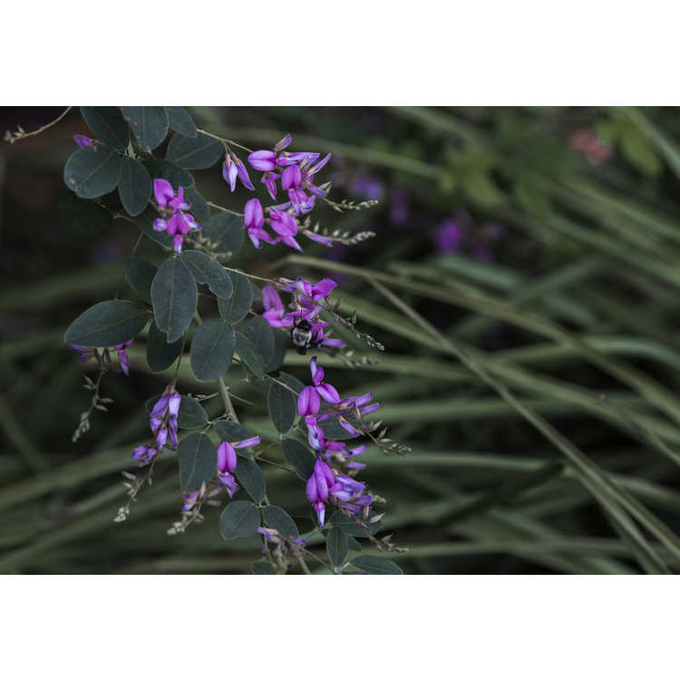 Lespedeza thunbergii 'Spring Grove'