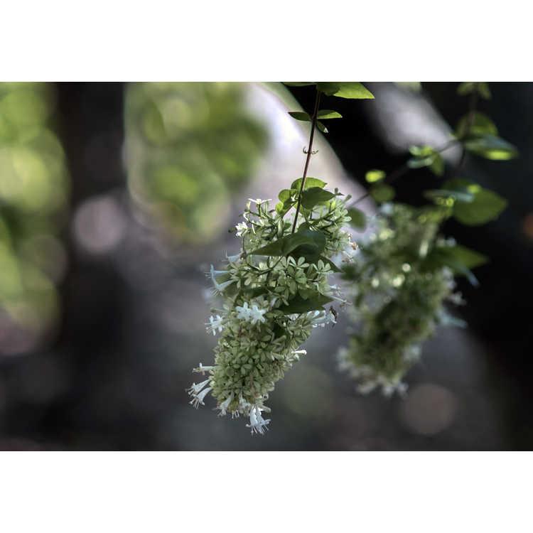 Abelia chinensis - Chinese abelia