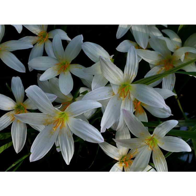 Zephyranthes 'Aquarius' - rain-lily