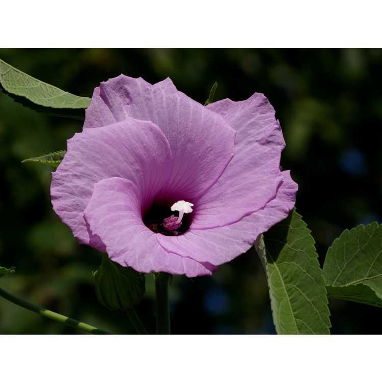 Hibiscus cubensis - Cuban rose mallow