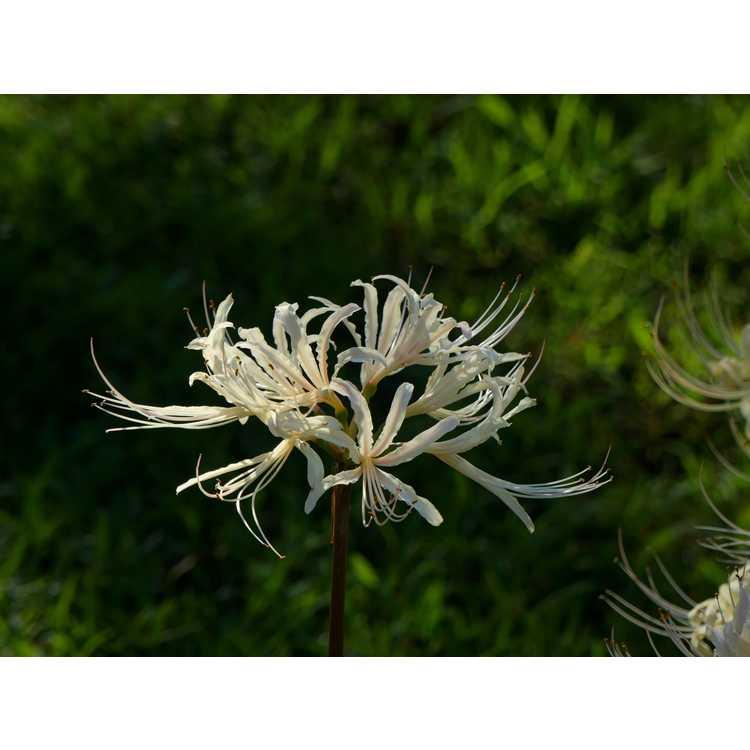 Lycoris albiflora - white surprise-lily