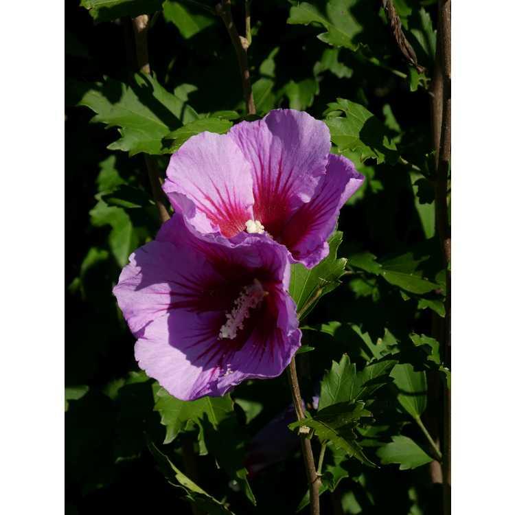 Hibiscus syriacus Gandini Santiago Purple Pillar