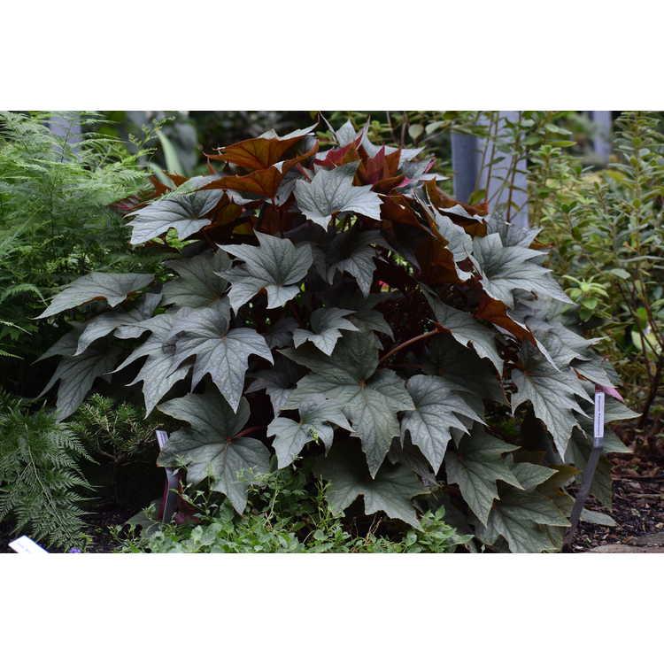 Begonia 'Pewterware'