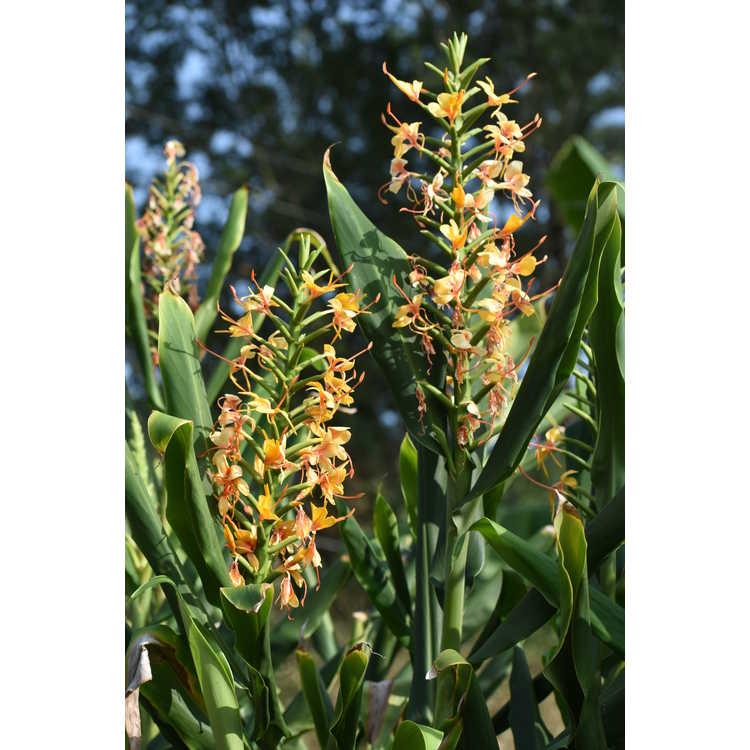 Hedychium 'Tai Golden Goddess' - ginger lily