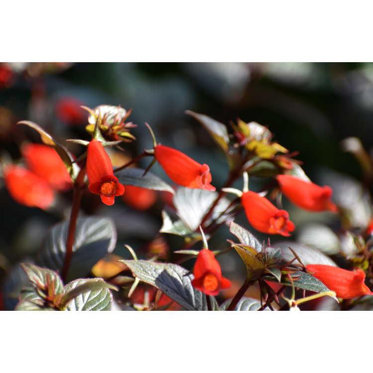 Seemannia 'Little Red' - hardy gloxinia