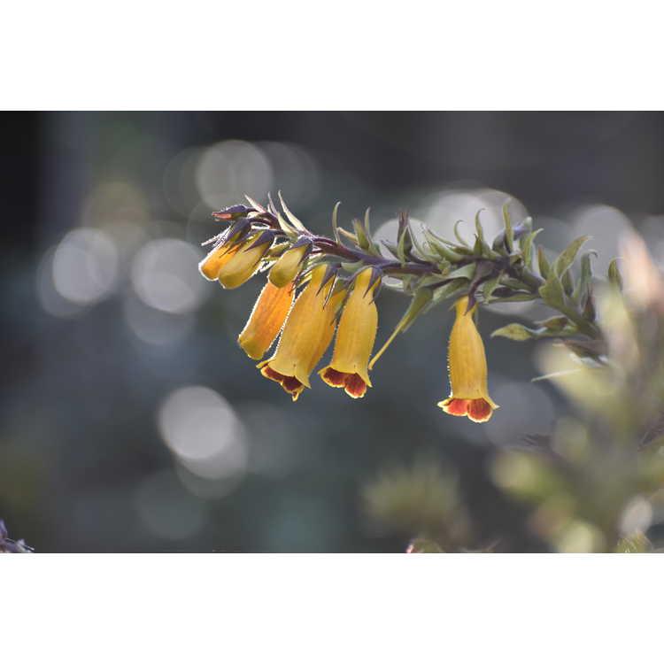Titanotrichum oldhamii - gold false foxglove