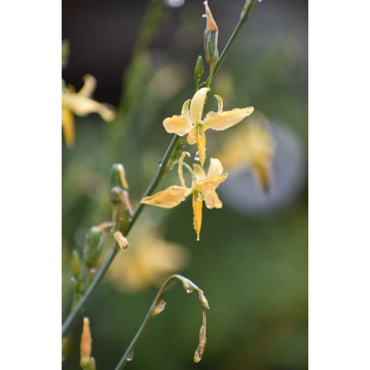 Echeandia texensis - Texas craglily