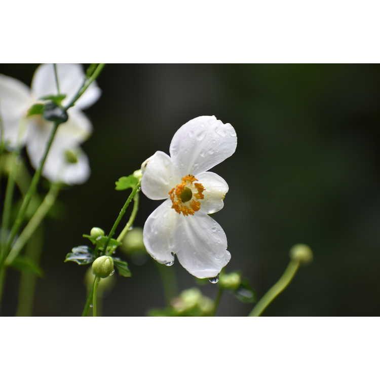 Anemone hupehensis Pretty Lady Maria