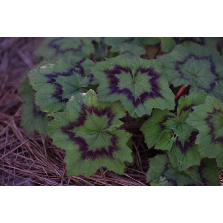 Pelargonium transvaalense African Princess