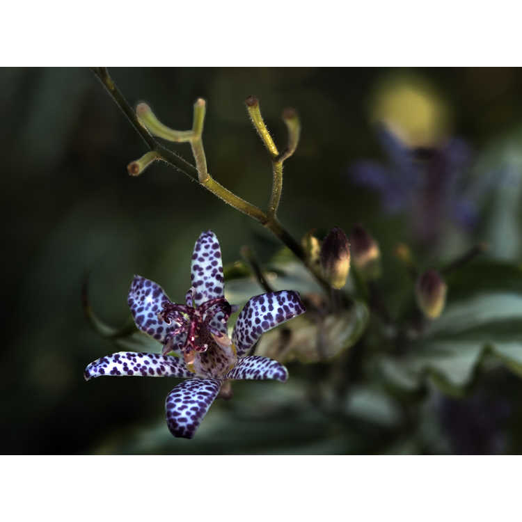 Tricyrtis 'White Waves' - variegated toad lily