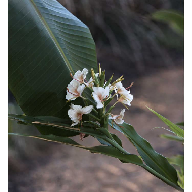 Hedychium 'Kinkaku' - hardy ginger lily