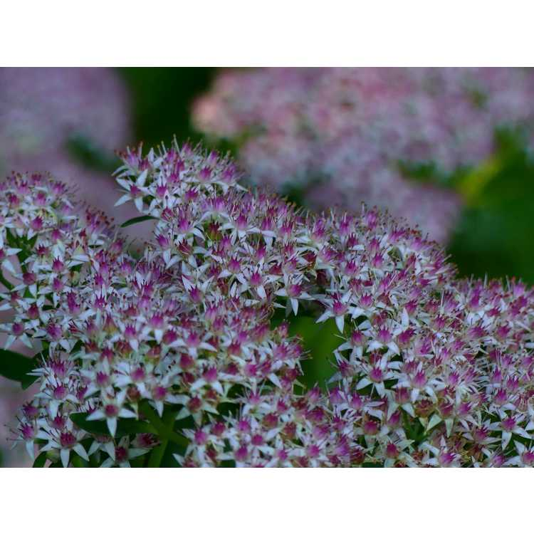 Sedum spectabile 'Zi Juan' - Pink Sundae showy stonecrop