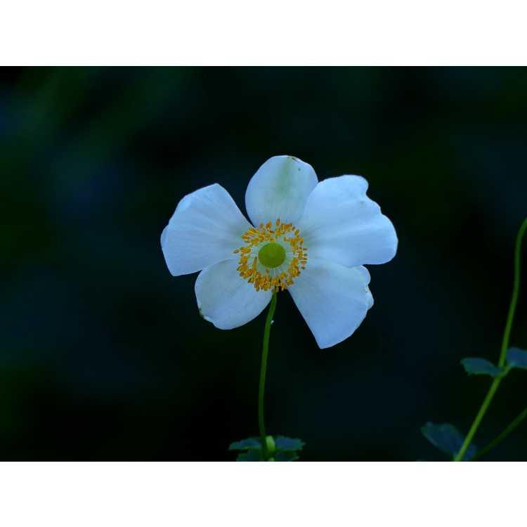 Anemone hupehensis 'Pretty Lady Maria' - windflower
