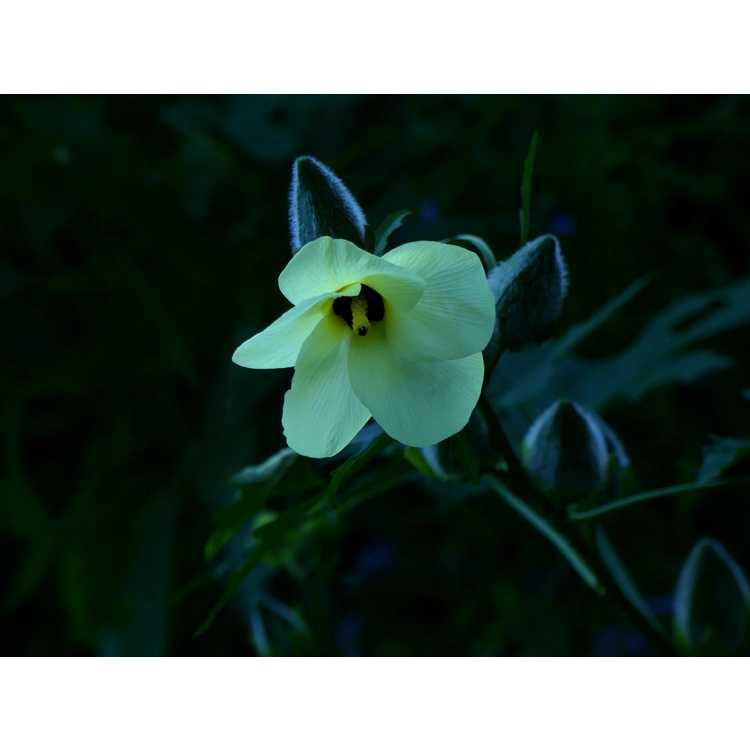 Abelmoschus manihot - sweet hibiscus