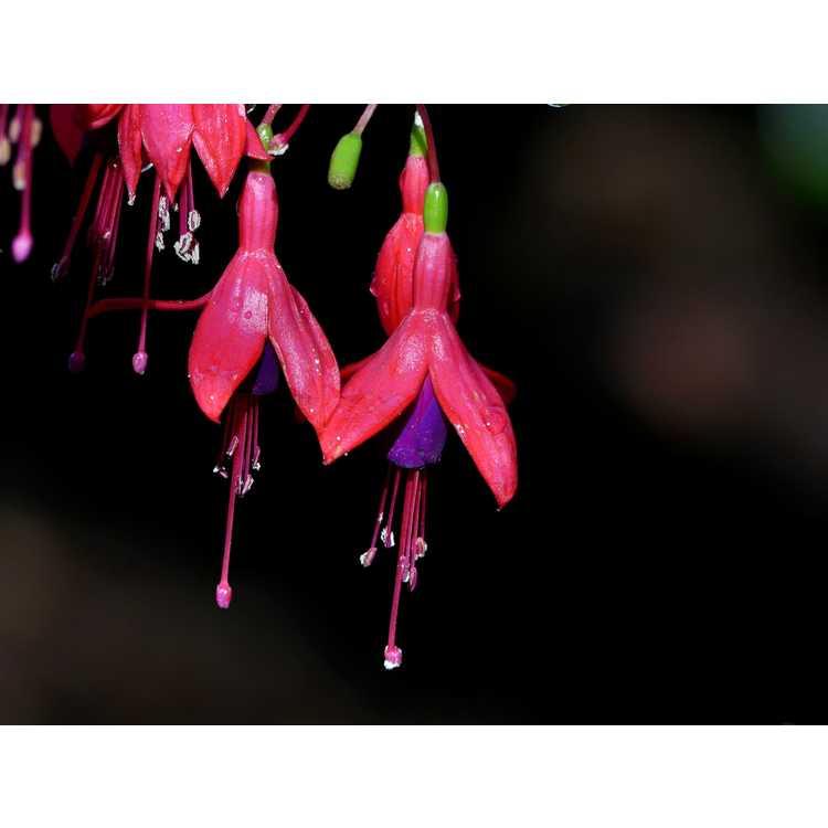 Fuchsia Sanihanf Angel Earrings Cascading