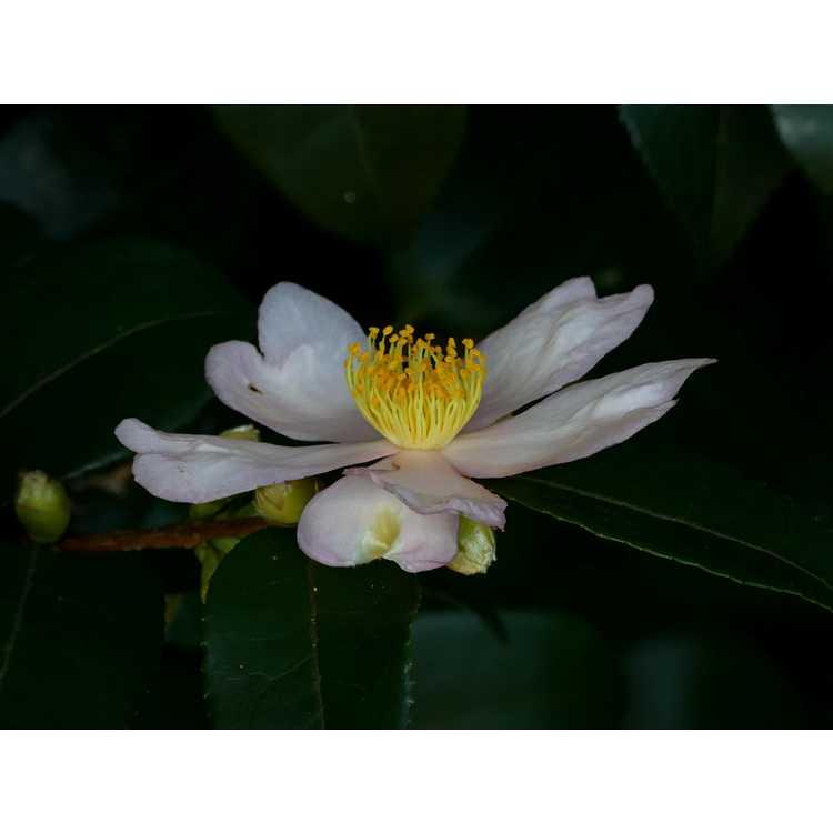 Camellia 'Winter's Star Light' - hybrid camellia