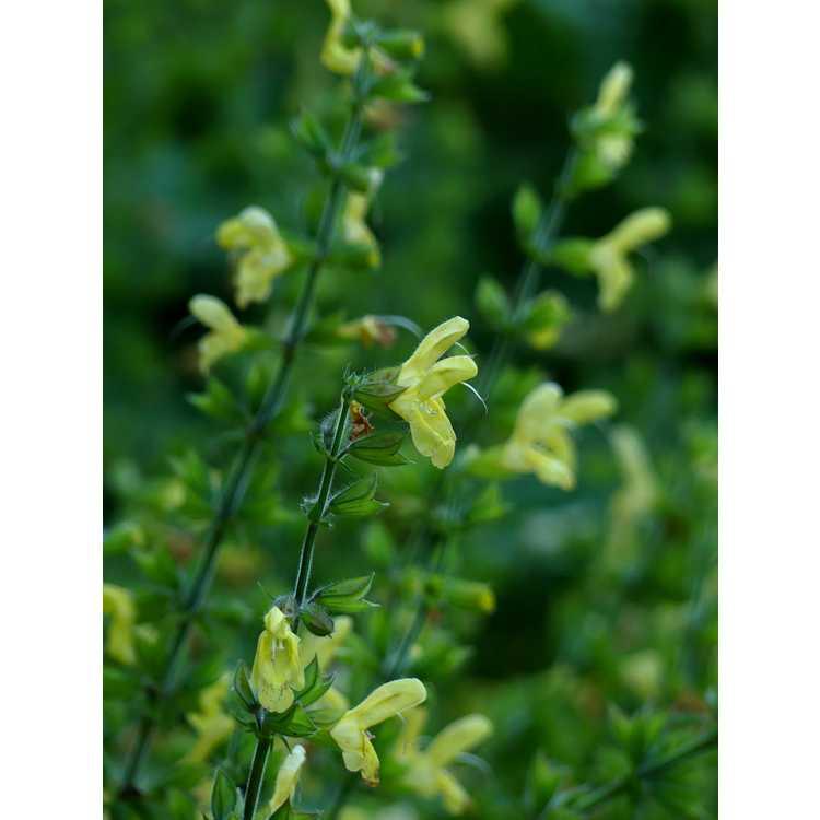 Salvia nipponica