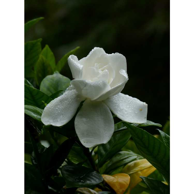 Gardenia jasminoides 'Chuck Hayes' - Cape jessamine