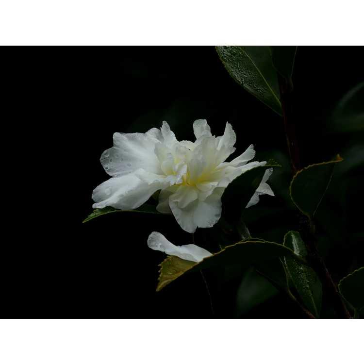 Camellia 'Snow Flurry' - Ackerman hybrid camellia