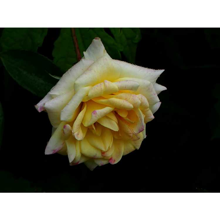 Rosa 'Baibox' - Easy Elegance Music Box Music Box shrub rose