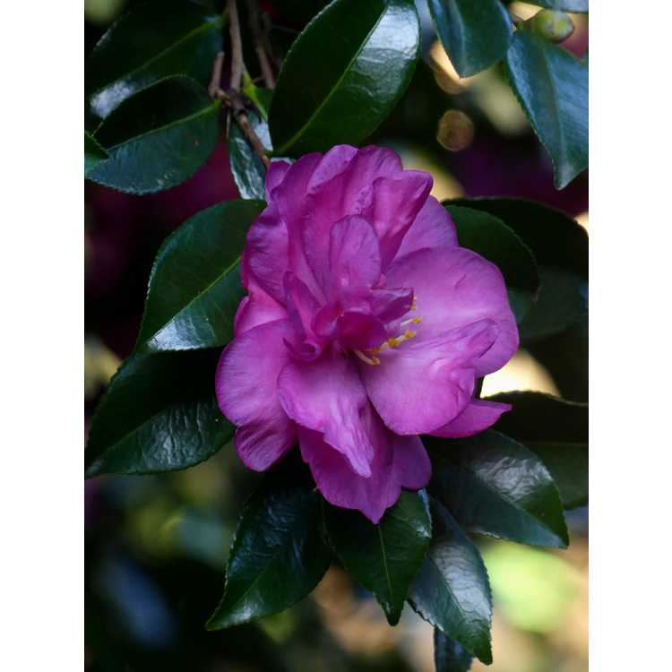 Camellia vernalis Hiryû