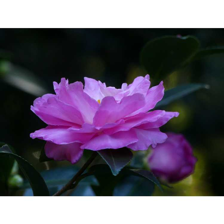 Camellia ×hiemalis 'Rose of Autumn'