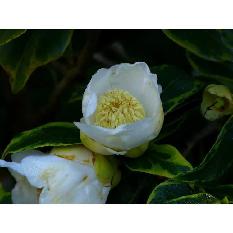 Camellia japonica Benten Shiratama