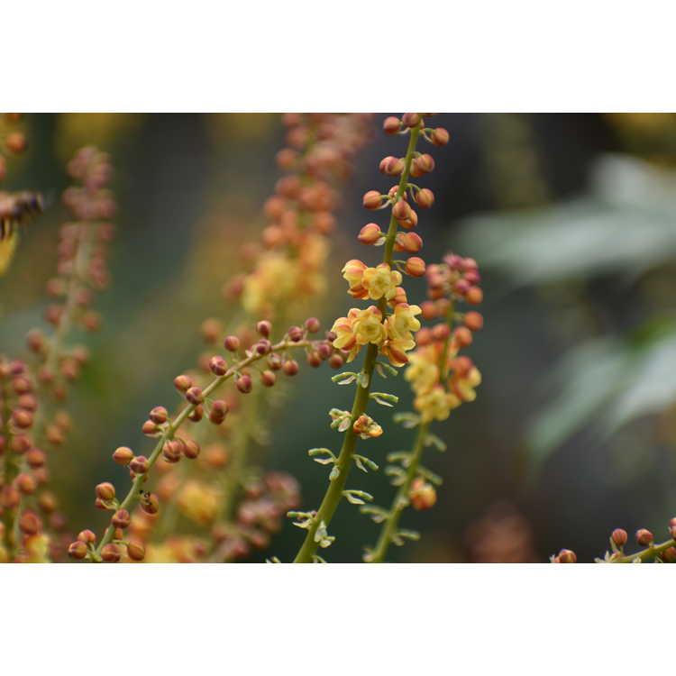 Mahonia ×emeiense 'Emei Shan'
