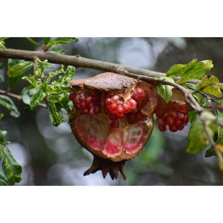 Punica granatum (variegated)