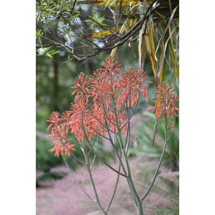 Aloe maculata Fort Worth