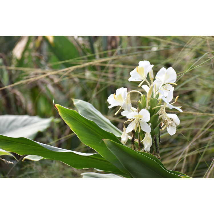Hedychium 'Betty Hodge' - hardy ginger lily
