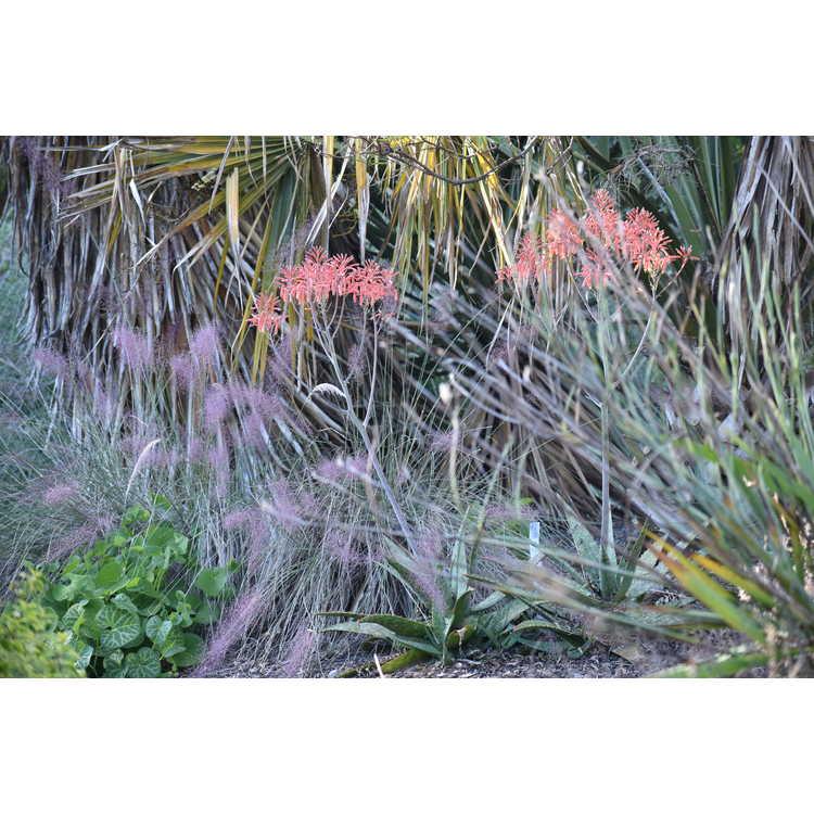 Aloe maculata 'Fort Worth' - soap aloe