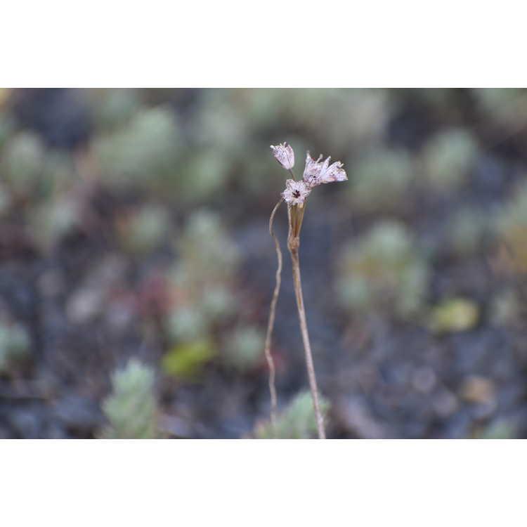 Allium callimischon subsp. haemostictum