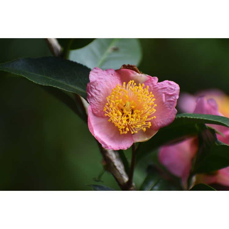 Camellia 'Robiraki' - Summer Beauty hybrid camellia