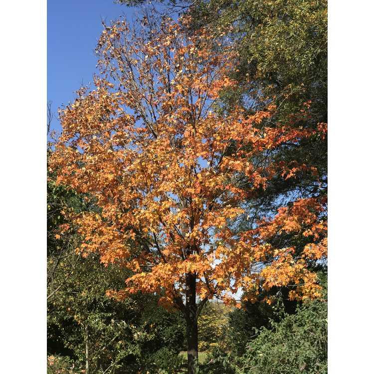 Acer saccharum 'Flax Mill Majesty'