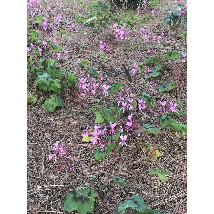 Pelargonium transvaalense 'African Princess' - hardy pelargonium