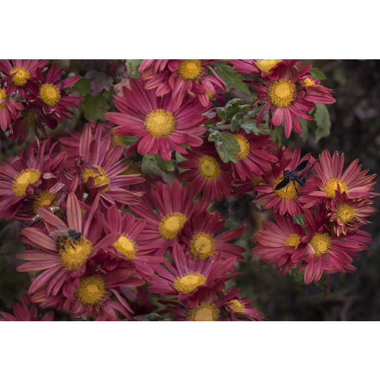 Chrysanthemum single red